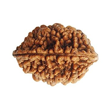 2 Mukhi Rudraksha Lab Certified By Timeshopee