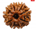 10 Mukhi Rudraksha | 10 Mukhi Rudraksha and it's benefits